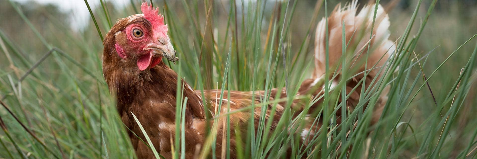 A lone chicken surrounded by grass in a field