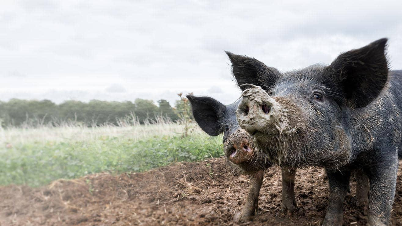 Two pigs in a field.