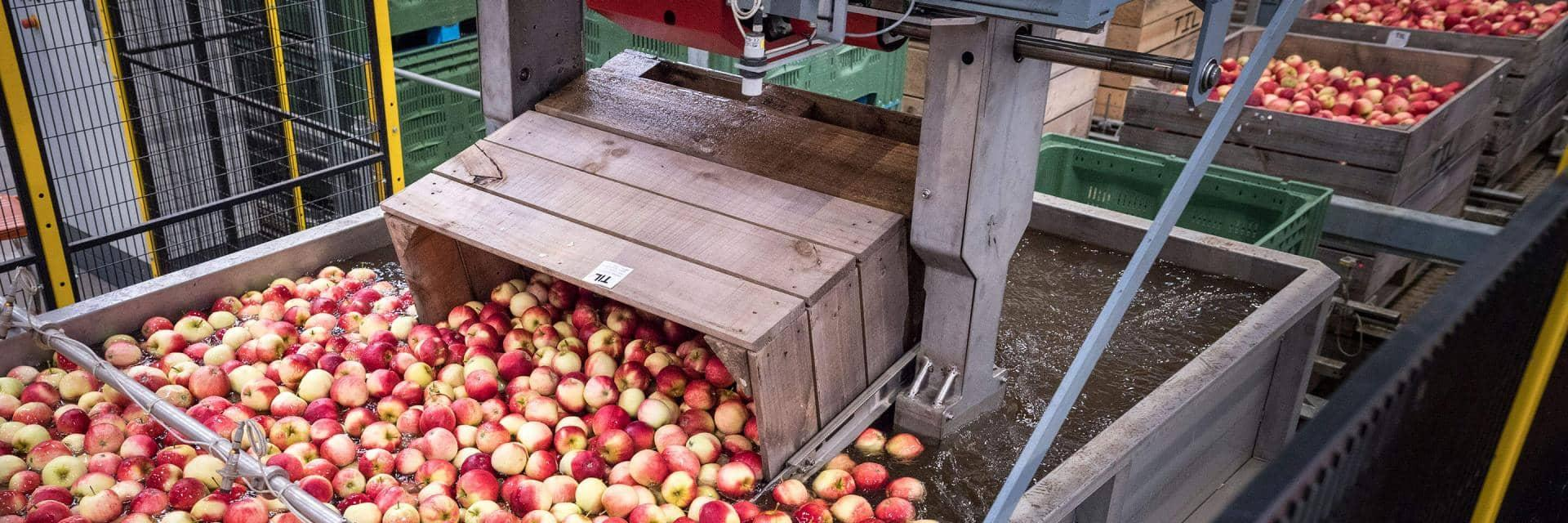 Red apples being processed in a factory production line